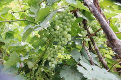 Green Grape from under view Stock Photography