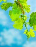 Fresh grape leaves border Stock Images