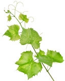 Fresh grape leaves isolated Stock Images