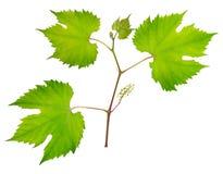 Fresh grape leaves Royalty Free Stock Image