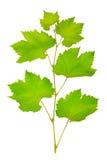 Fresh grape leaves Stock Image