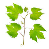 Fresh grape leaves Royalty Free Stock Photo