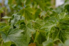Fresh grape leaves Stock Photography