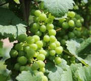 Fresh grape. Some green grapes in a garden stock images