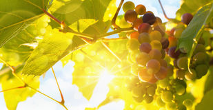 Fresh grape vine in bright sunshine. Summer sun lights royalty free stock image