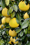Fresh grapefruit on trees. Grapefruit on tree, shown as agriculture concept or raw, fresh and healthy fruit Stock Images