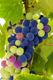 Fresh grapes as background Stock Image