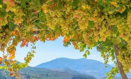 Fresh grapes in a bush Stock Image