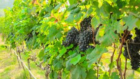 Fresh grapes on crop, Vineyard in Thailand. Stock Photography