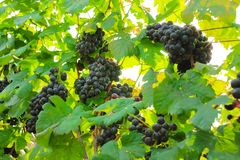 Fresh grapes on crop, Vineyard in Thailand. Royalty Free Stock Photo