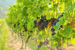 Fresh grapes on crop, Vineyard in Thailand. Stock Photo
