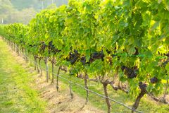 Fresh grapes on crop, Vineyard in Thailand. Royalty Free Stock Images