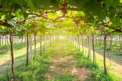 Fresh grapes in the garden Stock Image