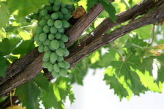Fresh grapes on a grapevine Stock Photos