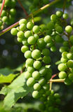 Fresh grapes on a grapevine Stock Image