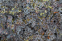 Fresh grapes just picked from wineyard Stock Photos