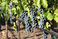 Fresh Grapes Royalty Free Stock Photos