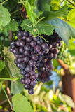 Fresh grapes on the vine branches. The concept of autumn Stock Photos