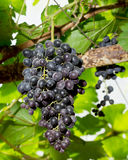 Fresh grapes on the Vine in Thailand Stock Image