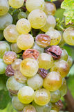 Fresh grapes in the vineyard Stock Images