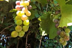 Fresh grapes in the vineyard stock photography