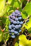 Fresh grapes in the wineyard Royalty Free Stock Photography
