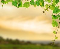 Fresh grapevine. Green grapevine framing, on background of sunset vineyard royalty free stock image