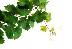 Fresh grapevine Royalty Free Stock Images