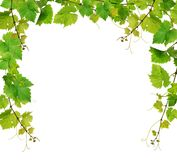 Fresh grapevine border. Green grapevine border, isolated on white background stock photo
