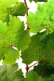 Fresh grapevine in detail Royalty Free Stock Photos