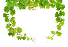 Fresh grapevine frame Royalty Free Stock Photo