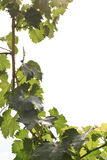 Fresh grapevine frame Royalty Free Stock Image