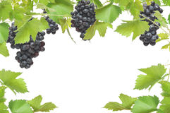 Fresh grapevine frame with black grapes. Isolated on white background royalty free stock photo