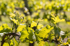 Fresh grapevine leaves and tendrils in vineyard in springtime Stock Photo