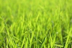 Fresh Grass. Field of fresh grass in a garden stock images