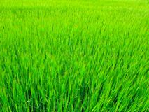 Fresh grass Royalty Free Stock Photos