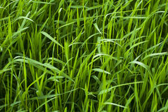 Fresh grass Royalty Free Stock Image