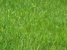 Fresh grass. On a sunny day Royalty Free Stock Photo