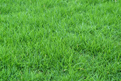 Fresh grass Royalty Free Stock Images