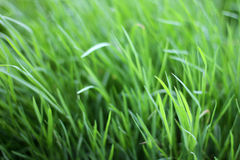 Fresh grass Royalty Free Stock Photography