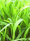 Fresh grass Stock Image