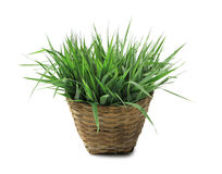 Fresh grass in basket Royalty Free Stock Image