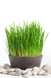 Fresh grass in the bowl Royalty Free Stock Photography