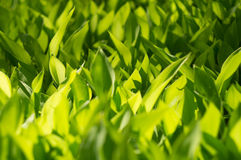 Fresh grass close-up. Part of a meadow at sunny midday Royalty Free Stock Photography