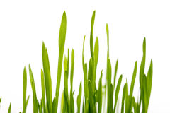 Fresh Grass Closeup Stock Image