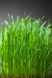 Fresh grass dense bunch Stock Photos