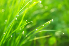 Fresh grass with dew Royalty Free Stock Photo