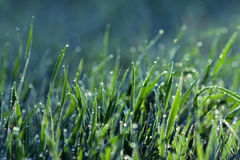 Fresh grass with dew drops Royalty Free Stock Image