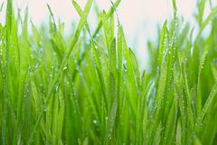 Fresh grass with dew drops Royalty Free Stock Photography