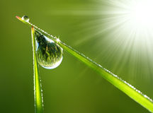Fresh grass with dew drops close up. Drops of water on the grass to sun rays Royalty Free Stock Image